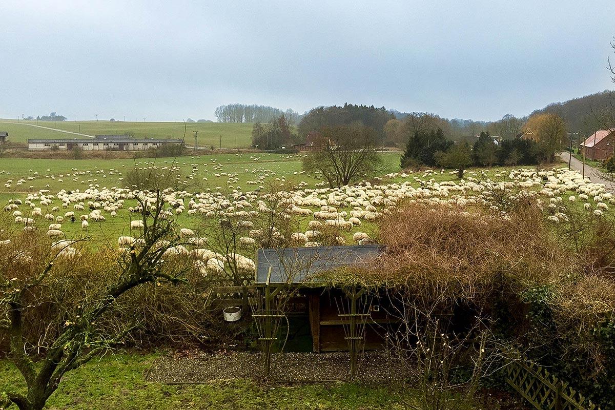 1000 ausgebüxte Schafe hinter'm Haus in Miekenhagen